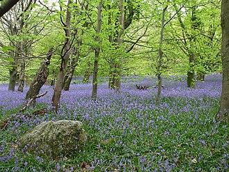 Wenallt Hill - Image: Wenallt bluebells geograph.org.uk 1288899