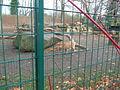 Westkaukasischer Steinbock (Zoo Dresden).JPG