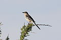 White-banded Mockingbird (Mimus triurus) (15958899631).jpg