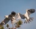 White-tailed Kites (27612611339).jpg