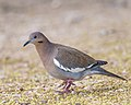 White-winged Dove (38087336535).jpg