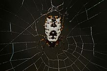 White Micrathena - Micrathena mitrata, Little River Canyon National Preserve, Fort Payne, Alabama.jpg
