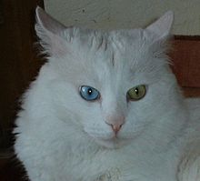 Biggest House Cat In The World 2014 turkish angora - wikipedia