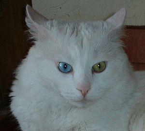 """Turkish Angora - White Turkish Angora cat with """"odd eyes""""."""