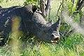 White Rhino (Ceratotherium simum) making a face ... (46011229085).jpg