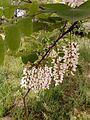 White acacia flowering.jpg