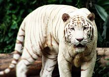 White Bengal Tiger with Down Syndrome