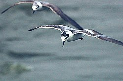 White winged tern.jpg
