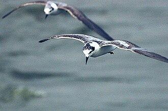 White-winged tern - Image: White winged tern