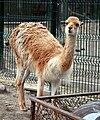 Wikunia samiec Zoo Lodz.jpg
