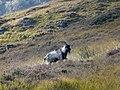 Wild Goat, Glen Strathfarrar - geograph.org.uk - 1521028.jpg