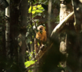 Wild Golden Bellied Mangabey.png