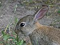 Wild rabbit (27990033777).jpg