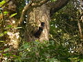 Wild squirrel anamalai shola national park.JPG