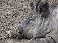 Wildschwein P1080571.JPG