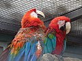Wilhelma müde Papageien.jpg