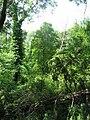 Windthrown woodland, Roslin Glen - geograph.org.uk - 29011.jpg
