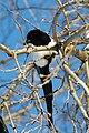 Winter Magpie (4436590189).jpg