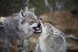 Eurasian wolf - Grey wolves at Polar Zoo in Bardu, Troms, Norway