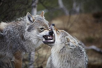 Eurasian wolf - Grey wolves at Polar Park in Bardu, Troms, Norway