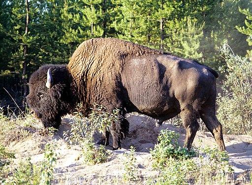 Wood-Buffalo-NP Waldbison 2 98-07-02