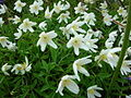 Wood anemones - geograph.org.uk - 51207.jpg