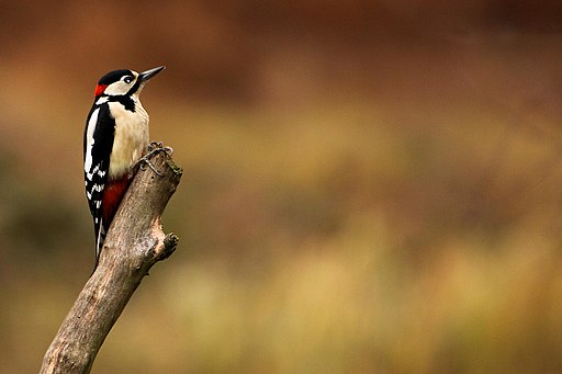 Woodpecker - RSPB Sandy - Explored -) (6607630067)