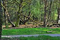 Woods resurrecting in the spring - panoramio.jpg