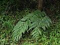 Woodwardia orientalis komotisd01.jpg