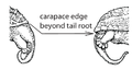 X5. Carapace posterior projection (S02e).png