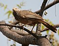 Yellow-billed Babbler (Turdoides affinis) near Hyderabad W IMG 7852.jpg