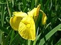 Yellow flag iris (SSM) 3.JPG