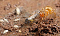 Yellow meadow ant (Lasius flavus) with Cyphoderus albinus and a maybe aphid (8272151048).jpg