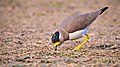 Yellow wattled lapwing at IIT Delhi.jpg
