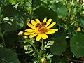 Yellowflowerwithhoneybee.jpg