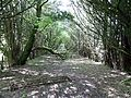 Yew Tree hedges, Caldwell kitchen gardens.JPG