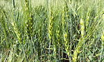 Young Wheat crop in a field near Solapur, Maharashtra, India.jpg