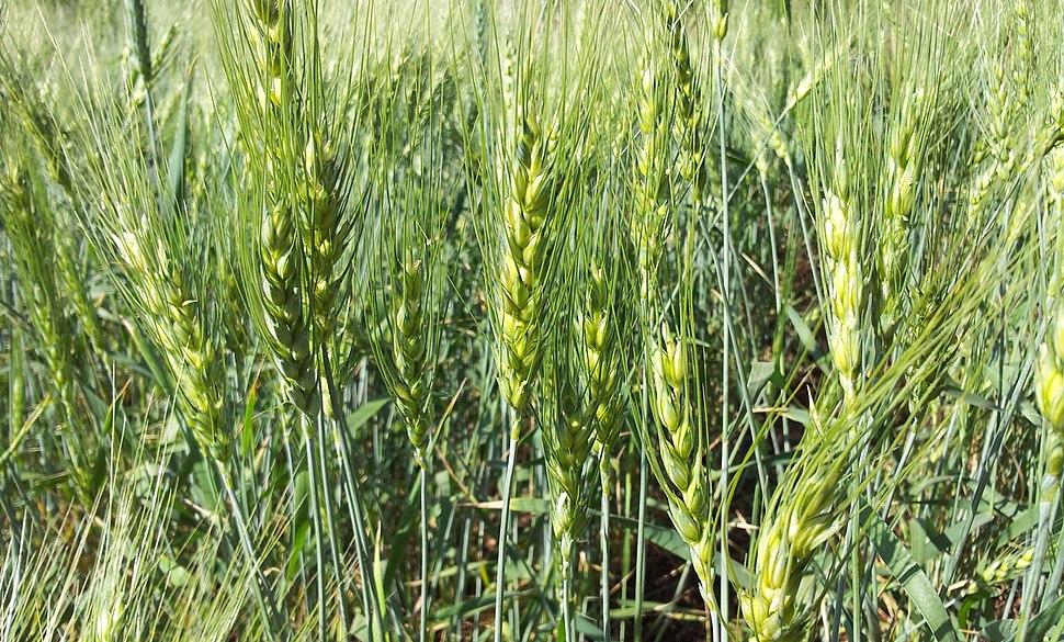 Young Wheat crop in a field near Solapur, Maharashtra, India
