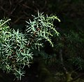 Young juniper needles and shots.jpg