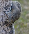 Your daily squirrel (8434915700).jpg