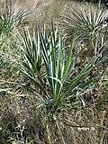 Yucca arkansana fh 1185.30 TX B.jpg