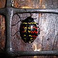 Zigzag beetle. Erotylidae. (Erotylus incomparabilis) - Flickr - gailhampshire.jpg