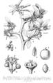 Ziziphus mistol illust 1.png