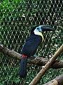 Zoo Zlín, Yucatan 06, tukan.jpg