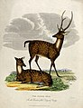 Zoological Society of London; two Ganges stags. Coloured etc Wellcome V0023146.jpg