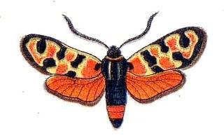 <i>Zygaena fausta</i> Species of moth