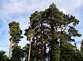 'Pinus sylvestris' Scots Pine at Staplefield, West Sussex, England 02.jpg