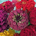 'Queen Red Lime' zinnia in the middle.jpg