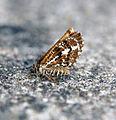 (1954) Bordered White (Bupalus piniaria) (19196353940).jpg