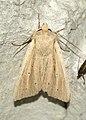 (2197) Southern Wainscot (Mythimna straminea) (4778348432).jpg